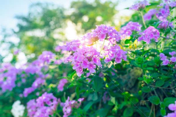 Floral Busch schönen lila Blumen abstrakten Stock foto © Anna_Om