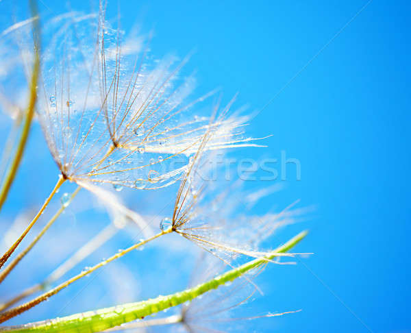 Soft dandelion flowers Stock photo © Anna_Om