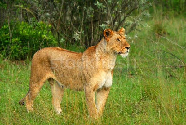 Сток-фото: африканских · Африка · Кения · трава · кошки