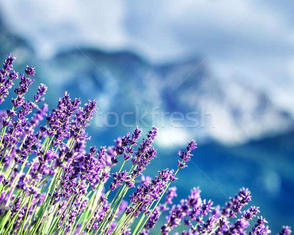 Lavender fields beneath French Alps Stock photo © Anna_Om