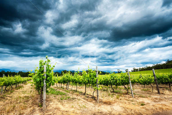 Beautiful vineyard landscape Stock photo © Anna_Om
