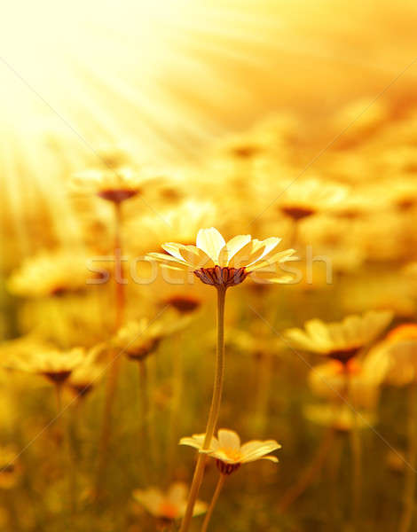Stock photo: Daisy flower field over sunset