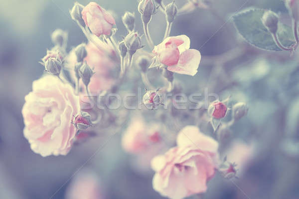 Pastel rose background Stock photo © Anna_Om