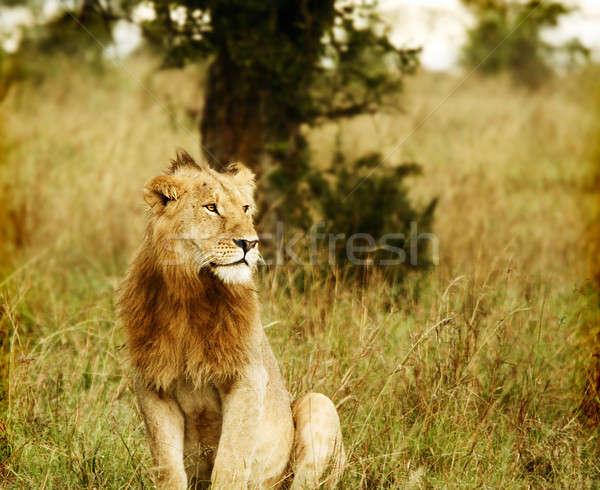 Сток-фото: молодые · африканских · лев · Африка · Кения