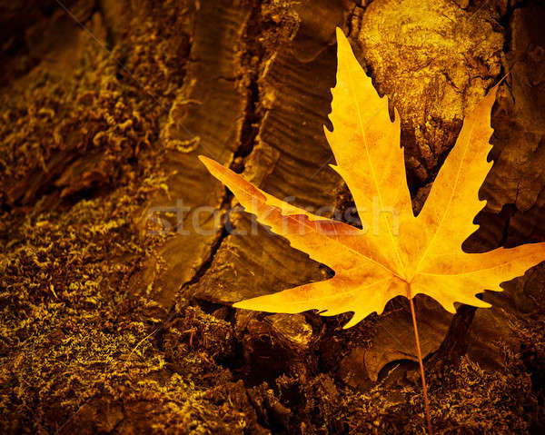 Dry maple leaf Stock photo © Anna_Om
