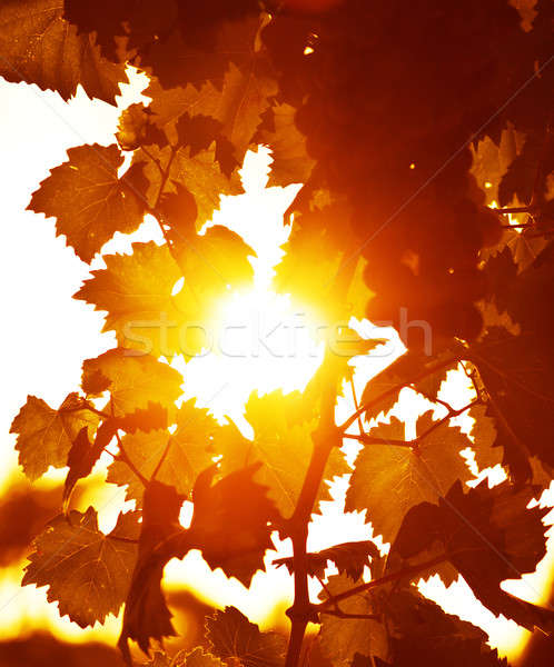Grape Leaves Background Stock Photo C Anna Om 2166491 Stockfresh