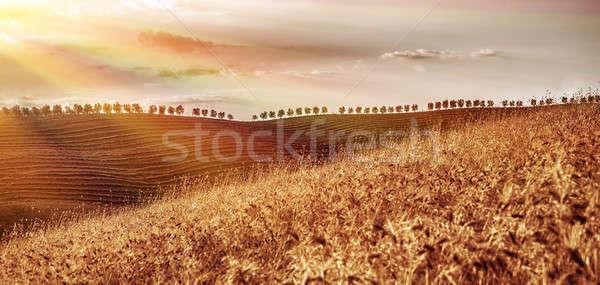 Foto stock: Dourado · secar · campo · de · trigo · belo · outono · paisagem