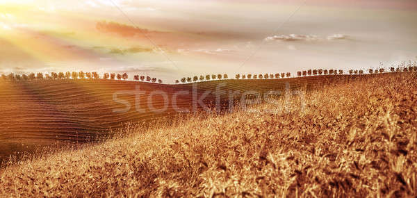 Golden dry wheat field Stock photo © Anna_Om