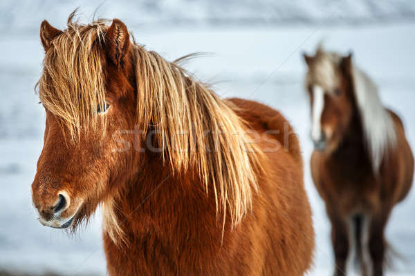 Beautiful Icelandic horses Stock photo © Anna_Om