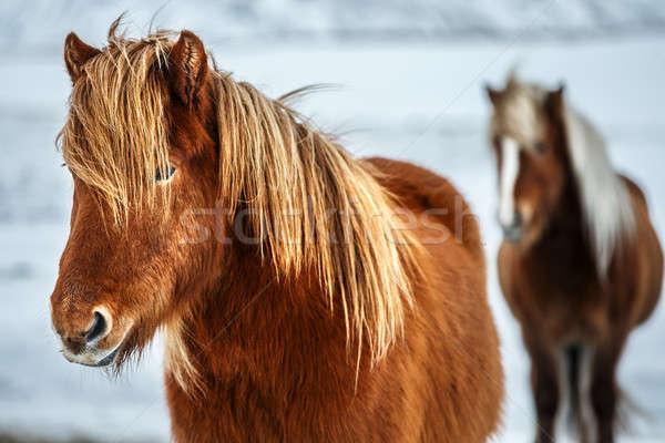 Gyönyörű lovak portré pár káprázatos állatok Stock fotó © Anna_Om