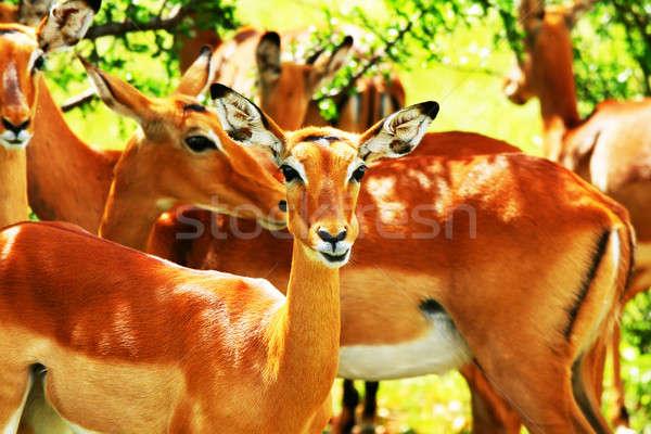 Wild antelope Stock photo © Anna_Om