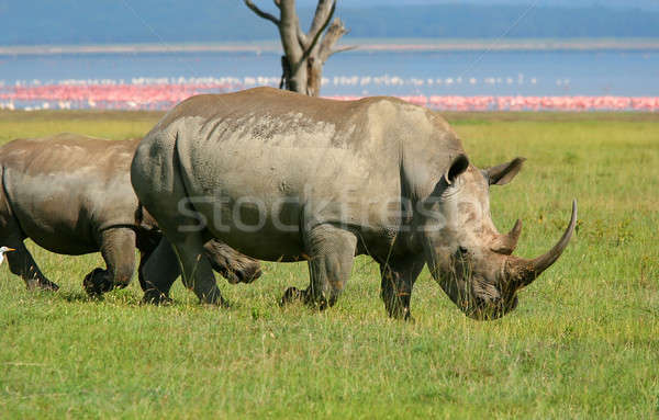 Stock photo: Rhinoceros in the wild