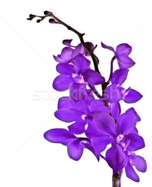 Lila orchidea friss virág izolált fehér Stock fotó © Anna_Om
