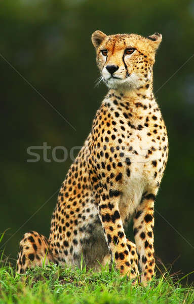 Stock photo: Wild african cheetah