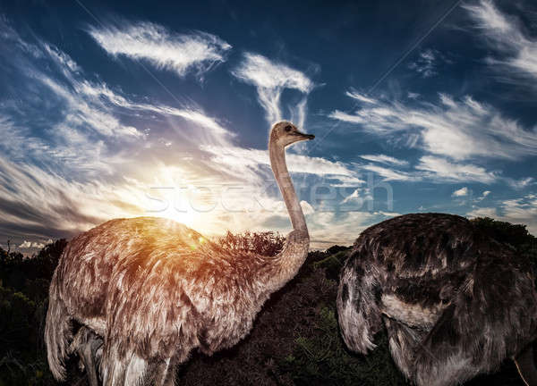 Ostriches in wild nature Stock photo © Anna_Om
