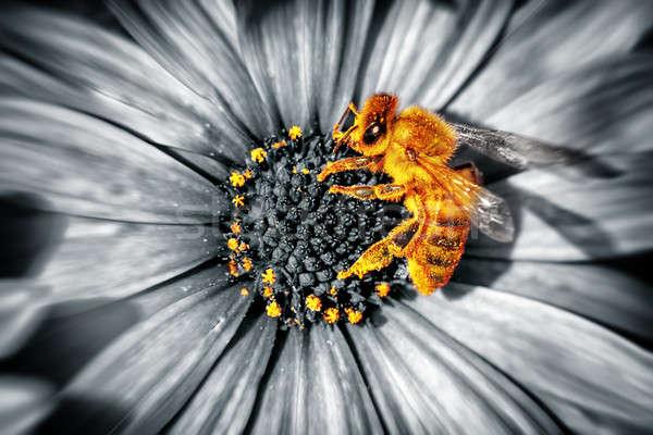 Cute little bee on a daisies flower Stock photo © Anna_Om
