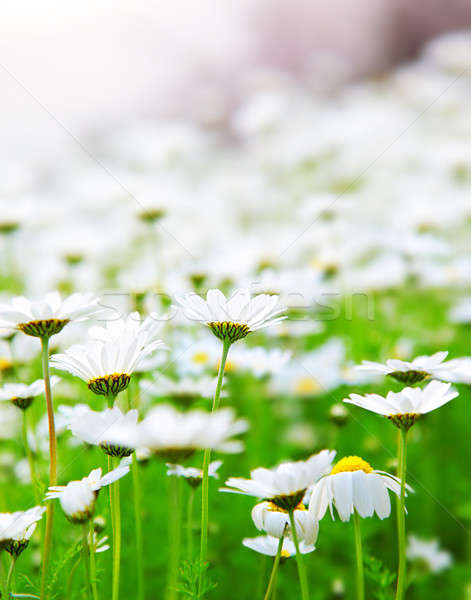 Spring field of daisies Stock photo © Anna_Om