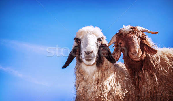 Two funny sheeps Stock photo © Anna_Om
