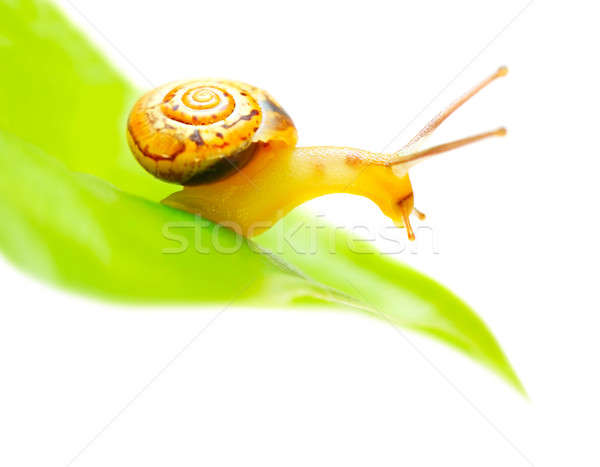 Stock photo: Little snail