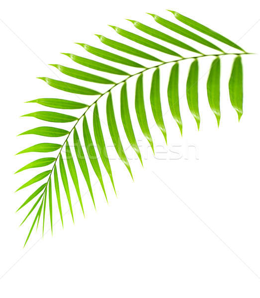 Fresh palm tree branch isolated Stock photo © Anna_Om