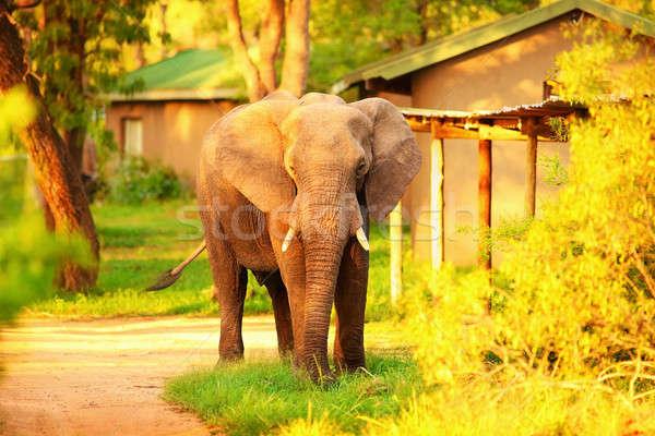 Wild African elephant  Stock photo © Anna_Om