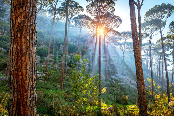 Beautiful pine forest Stock photo © Anna_Om