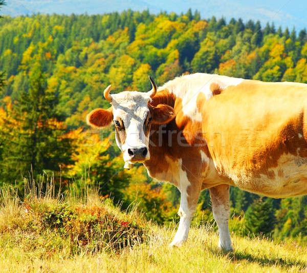 Cow Stock photo © Anna_Om