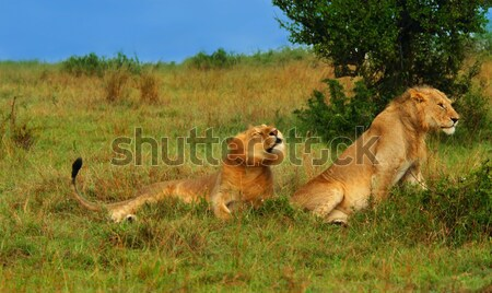 Family of wild African Lions Stock photo © Anna_Om