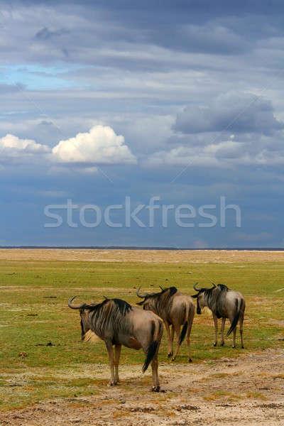 Herd of African Wildebeest grazing Stock photo © Anna_Om
