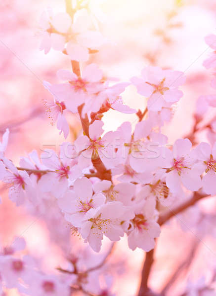 Beautiful blooming tree Stock photo © Anna_Om
