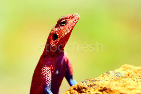 Portrait of lizard Stock photo © Anna_Om