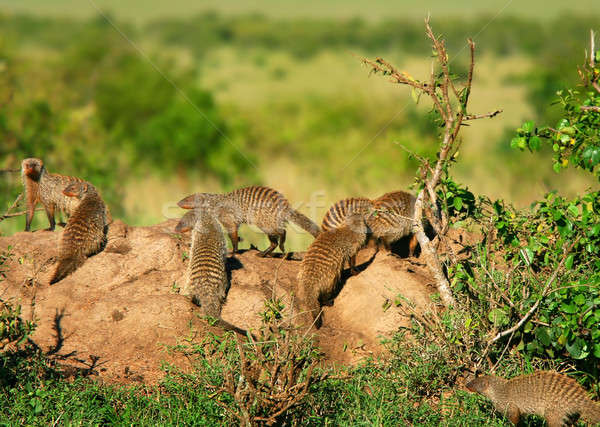 Mongoose Stock photo © Anna_Om