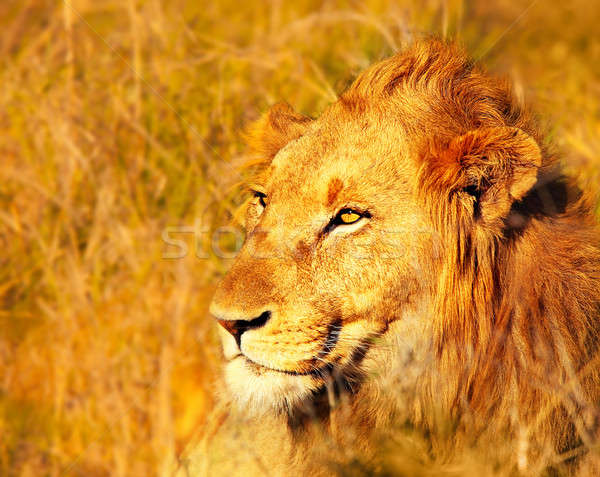 Beautiful wild african lion Stock photo © Anna_Om