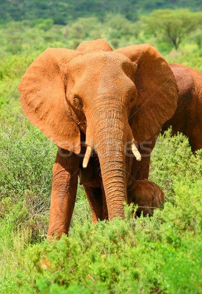 Elefante africano África Quênia família floresta Foto stock © Anna_Om