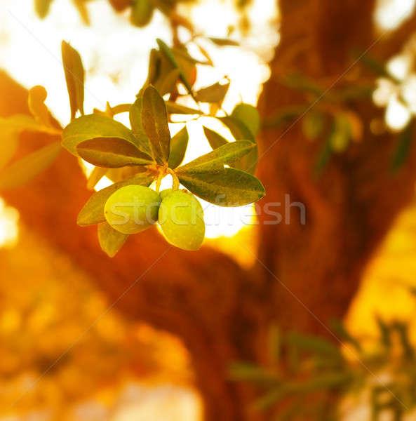 Olajfa közelkép ág friss érett gyümölcsök Stock fotó © Anna_Om