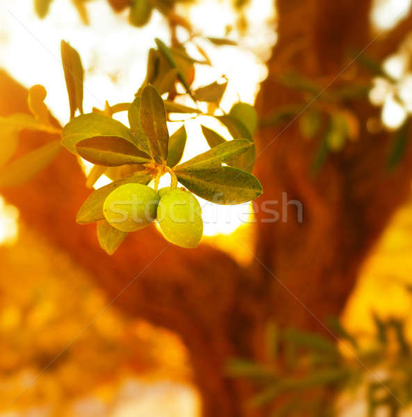 Foto stock: Olivo · primer · plano · rama · frescos · maduro · frutas