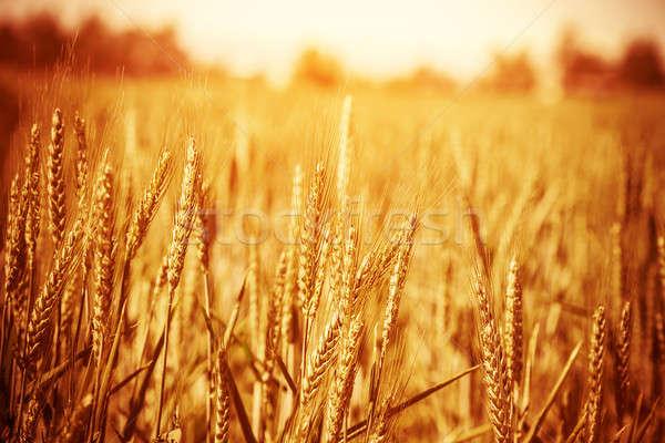 Arany búzamező érett napos idő puha fókusz Stock fotó © Anna_Om