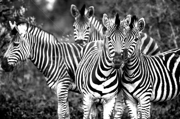 Aile Afrika zebralar siyah beyaz fotoğraf Stok fotoğraf © Anna_Om