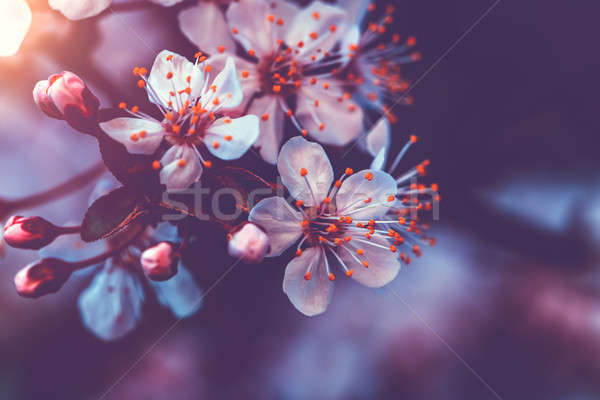 Gentle cherry blossom Stock photo © Anna_Om