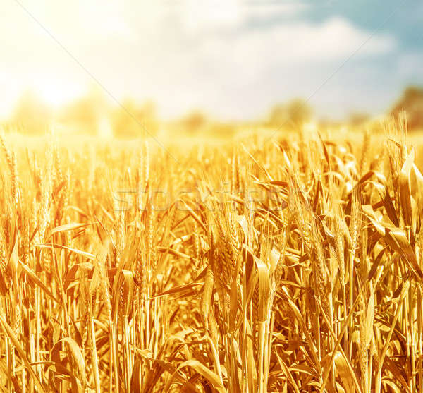 麦畑 美しい 農業の 草原 ストックフォト © Anna_Om