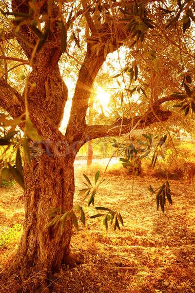 Olajfa őszi kert olívaolaj gyártás bioélelmiszer Stock fotó © Anna_Om