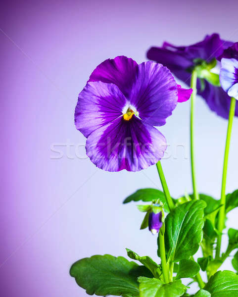 Purple pansy flowers Stock photo © Anna_Om
