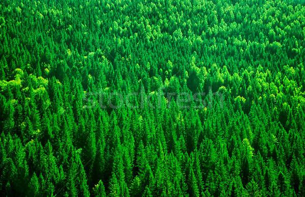 Fenyőfa erdő örökzöld madár szem kilátás Stock fotó © Anna_Om