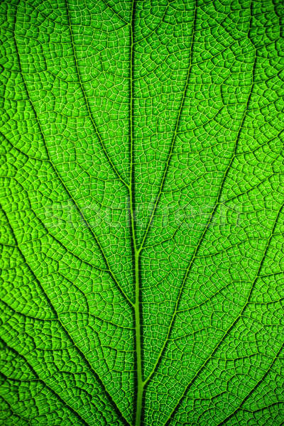 Green leaf background Stock photo © Anna_Om