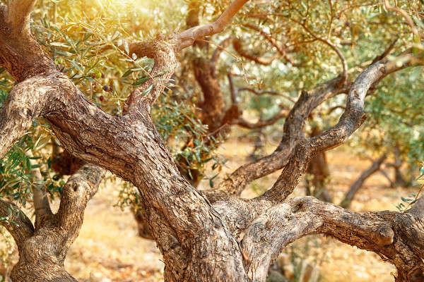 Olive trees garden Stock photo © Anna_Om