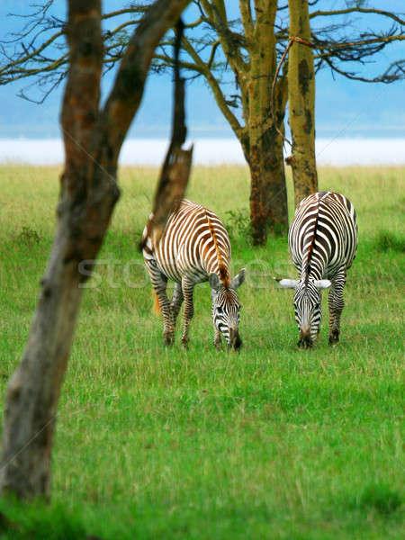 Stock photo: Wild zebras