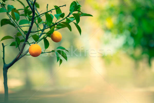 Orange tree garden Stock photo © Anna_Om