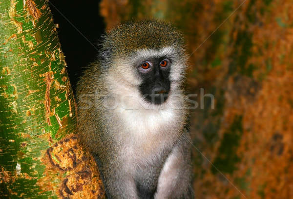 Portrait of monkey in the wild Stock photo © Anna_Om