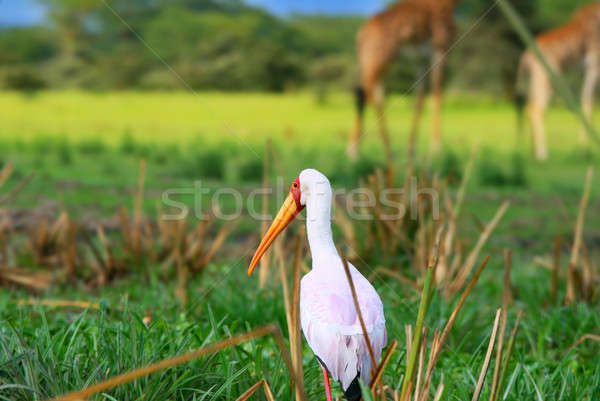 Yellow billed stork Stock photo © Anna_Om