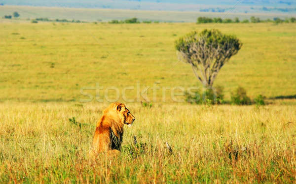 Wild african lion Stock photo © Anna_Om
